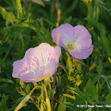 2013 Spring Flora & Fauna - IMGP6346.JPG