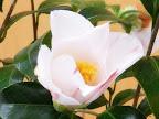 白色地 紅色の大小絞り 一重 長いラッパ咲き 中輪