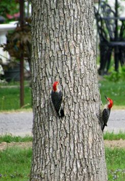 1605089 May 26 Woodpeckers Go Up The Tree