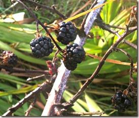 ripe blackberries on a bush