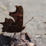 Polygonia c-album L., 1758. Les Hautes-Lisières (Rouvres, 28), 23 mars 2012. Photo : J.-M. Gayman