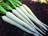 use of white carrot