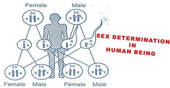 sex-detemination
