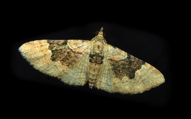 Geometridae : Larentiinae : probablement Chrysolarentia sp. Umina Beach (N. S. W.), 23 novembre 2011. Photo : Barbara Kedzierski
