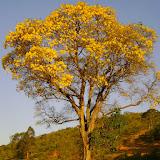 Grand Ipê jaune en fleur. Pitangui (MG, Brésil), 29 août 2010. Photo : Nicodemos Rosa