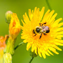 common eastern bumble bee (on a Dandelion)