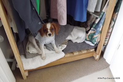 Lexie the cavalier sitting in her favourite place, at the bottom of the airing cupboard