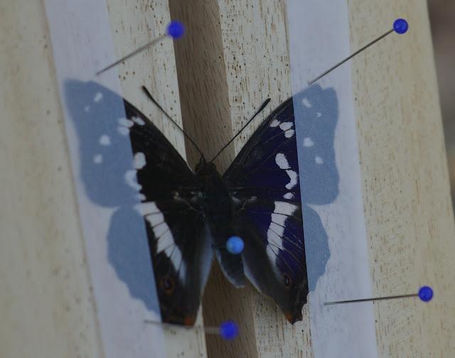 Apatura iris L., 1758, mâle. Les Hautes-Lisières (Rouvres, 28), 29 juin 2011. Photo : J.-M. Gayman