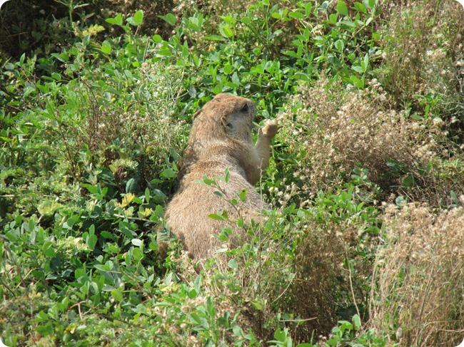 IMG_1092a Prairie Dog (7)