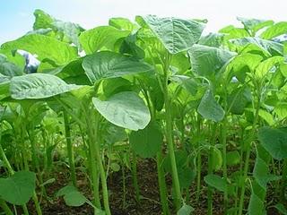 Manfaat Sayur Bayam, bayam, sayur bayam, antioksidan, zat besi, spinach, jumbo spinach