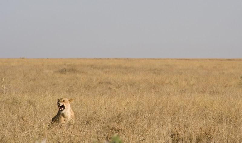 Rugido de leona