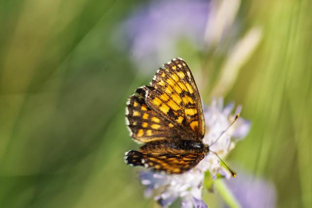 Mellicta athalia (ROTTEMBURG, 1775), femelle. Les Hautes-Lisières (Rouvres, 28), 17 juillet 2013. Photo : J.-M. Gayman