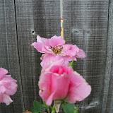 Gardening 2010, Part Three - 101_3556.JPG