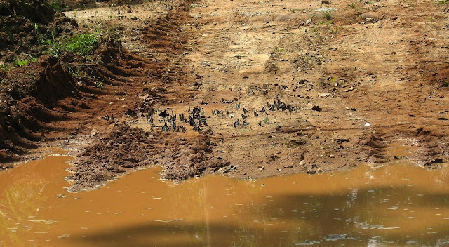 Rassemblement de Papilionidae mud-puddlant. Bobiri Forest (Ghana), 21 janvier 2006. Photo : J. F. Christensen