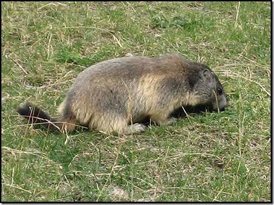 0902-Marmot
