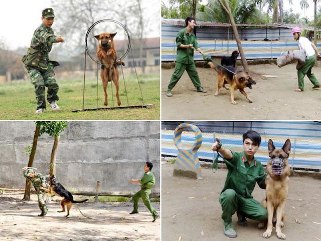 Trại chó Trung Đức - Mua bán chó becgie đức thuần chủng ở TPHCM