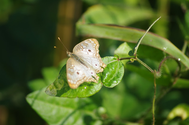 Anartia jatrophae LINNAEUS, 1763. Barra do Una (SP). Photo : J.-M. Gayman