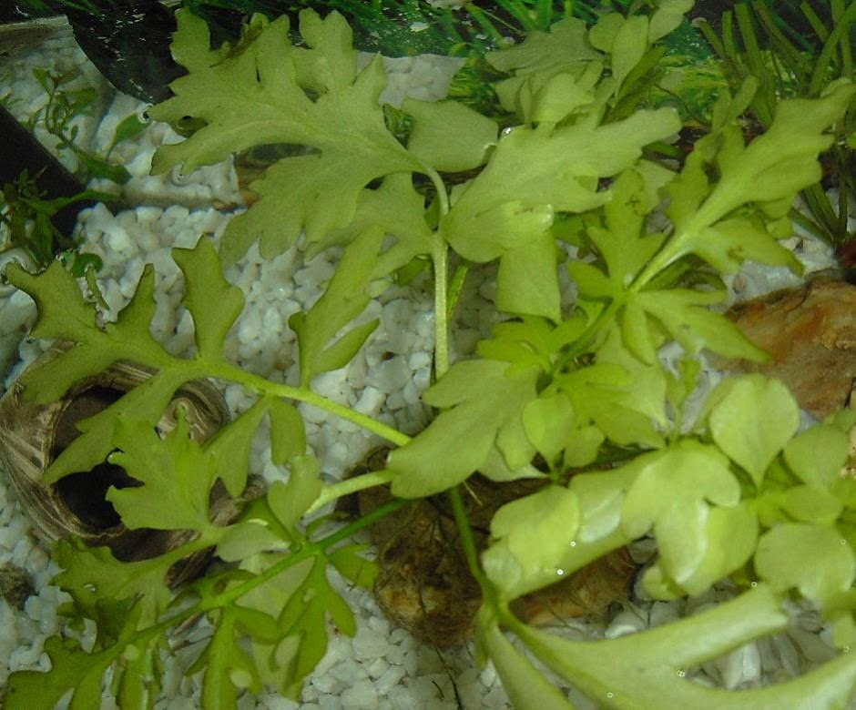 Папоротник крыловидный (Ceratopteris cornuta)