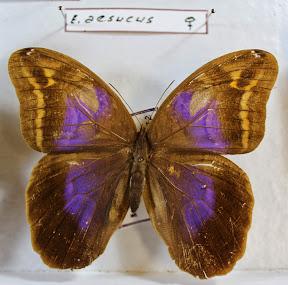 C.AESUCUS.JPG