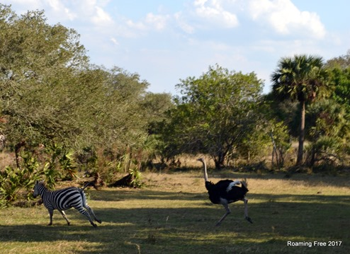Ostrich chasing zebra