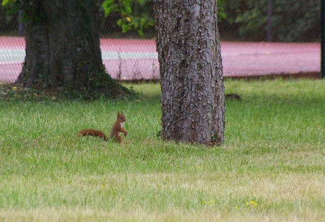 Écureuil dans le jardin. Les Hautes-Lisières (Rouvres, 28), 8 juin 2011. Photo : J.-M. Gayman