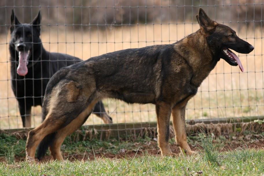A little confused on coat development - German Shepherd ...