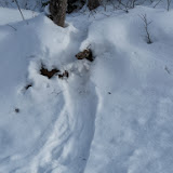 Otter tracks. The animal was sliding on its belly through the snow.