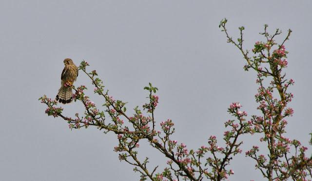 Faucon crécerelle (Falco tinnunculus L., 1758), mâle. Les Hautes-Lisières (Rouvres, 28), 3 mai 2013. Photo : J.-M. Gayman