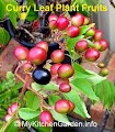 Curry Leaf Plant Fruit