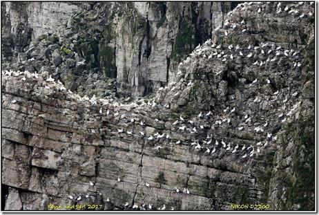 Bempton Cliffs - August