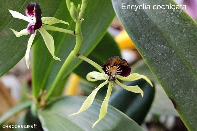 продам орхидейки IMG_2691