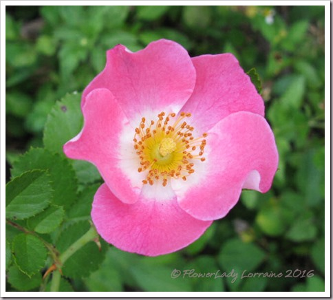 04-19-barnhouse-rose2
