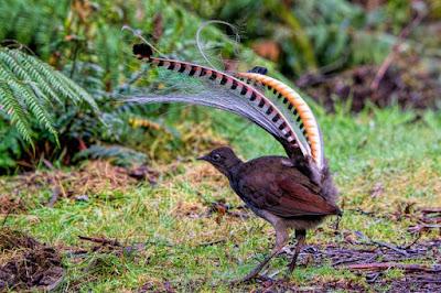 लायर बर्ड या वीणा पक्षी के बारे में जानकारी - anokhagyan.in