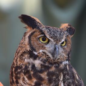 Owl 5 by Keith Heinly - Animals Birds ( kingdom, owl, disney, eyes, animal )
