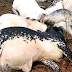 Again, Over 30 Cows died mysteriously in Ondo