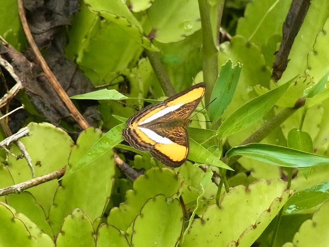 Adelpha cytherea olbia (C. Felder & R. Felder, 1867). Campamento Las Moyas, 1100 m (Santa María en Boyacá, Boyacá, Colombie), 16 novembre 2015. Photo : J. Michel