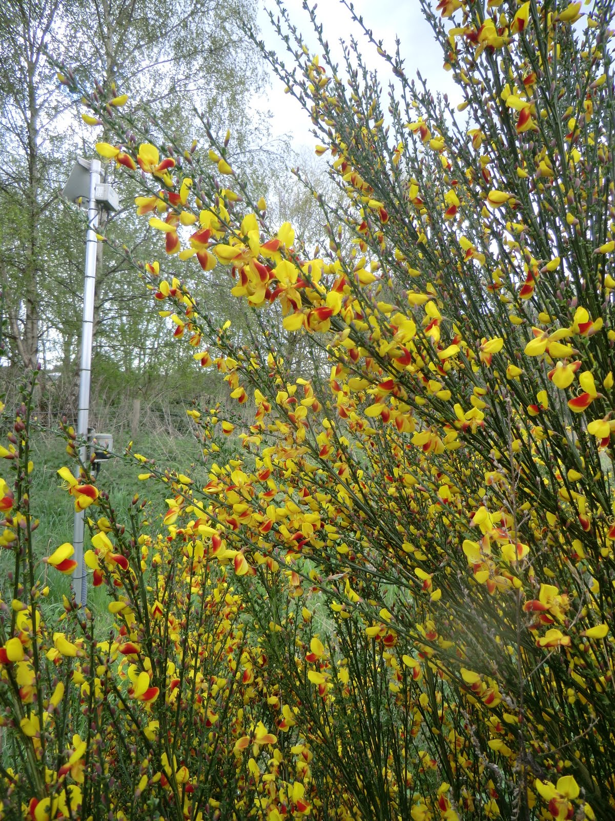 CIMG0744 Unusual red & yellow broom by the River Blackwater