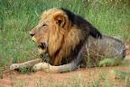 Og en endnu større gammel han-løve med en flot kæmpe manke.