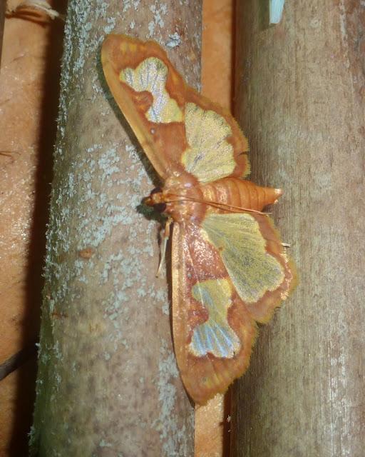 Crambidae : Spilomelinae : Eporidia sp. (?). Parc de Mantadia, 900 m (Madagascar), 27 décembre 2013. Photo : T. Laugier