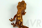 Partial pinstripe crested gecko from moonvalleyreptiles.com