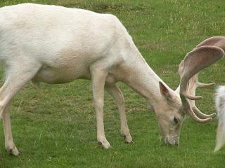 Поместье Ноул. Белый олень.