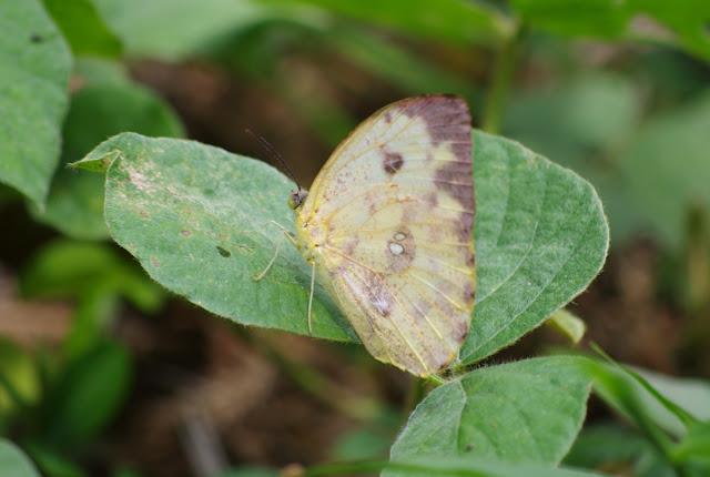 Phoebis argante larra (FABRICIUS, 1798), femelle. Saut Athanase, 4 novembre 2012. Photo : J.-M. Gayman