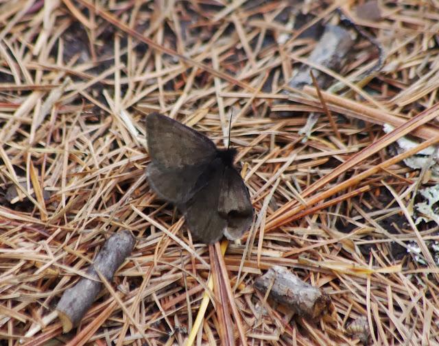 Noctuidae. Fex Platta, 1850 m (Grisons, CH), 10 juillet 2013. Photo : J.-M. Gayman