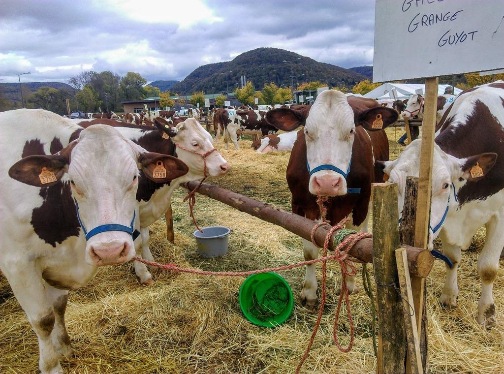 [comice+agricole%2C+ornans%2C+montbeliarde%2C+vache%5B7%5D]