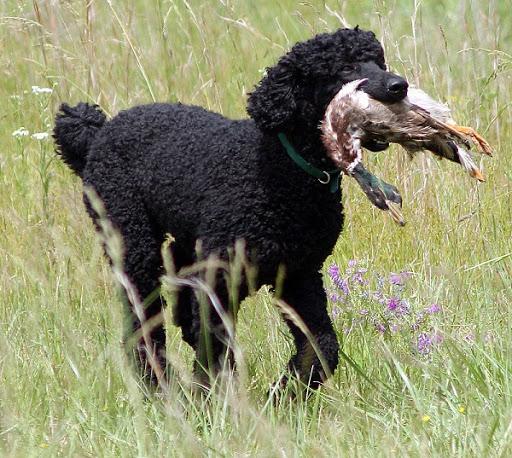 nguồn gốc của giống chó poodle