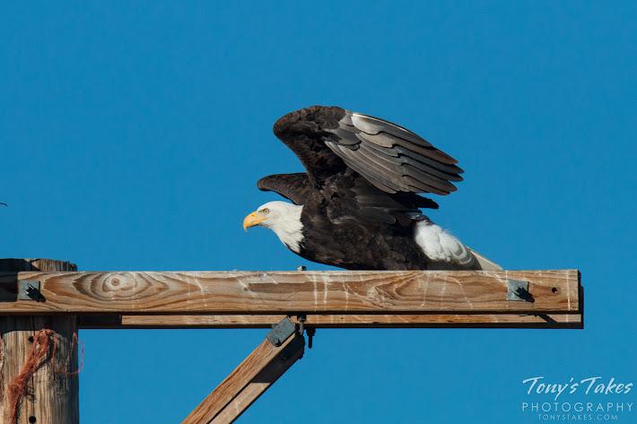Bald Eagle male takes flight. 2 of 6. (© Tony's Takes)