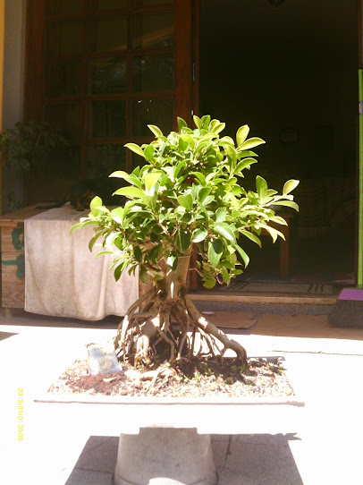 Ficus Microcarpa var. Indica... - Página 2 IMAG0384