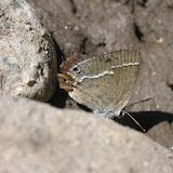 Satyrium (Superflua) deria MOORE, 1865. Tadjikistan, sud Badakhshan, nord-ouest des Monts Shugnan, environs de Khorog, gorge de Sangou-Dara, 37°31'N, 71°38'E, ca. 2730 m, 31 juillet 2007. Photo : J. Michel