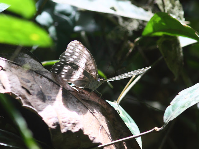 Cymothoe oemilius DOUMET, 1859, probablement femelle. Rengo Camp, Parc National de Korup (Cameroun), 2 mars 2012. Photo : Timothy Boucher