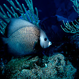Gray Angelfish, Belize